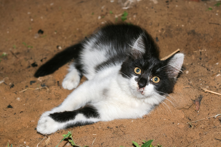 Little fluffy black and white kitten with wounded muzzle is lying on the sand. Stock Photo