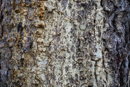 oleoresin: Natural background. Wooden texture. Spruce bark with dried resin.