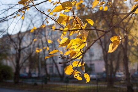 Bright yellow sunlit autumn leaves fluttering in wind foreground on urban landscape background.