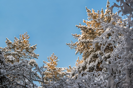 Bottom view to half circle of aspiring up the tops of snow-covered pines in sunny winter day. Stock Photo