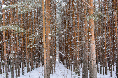Forest plantings. Regular rows of young pines on winter snowy day. Stock Photo