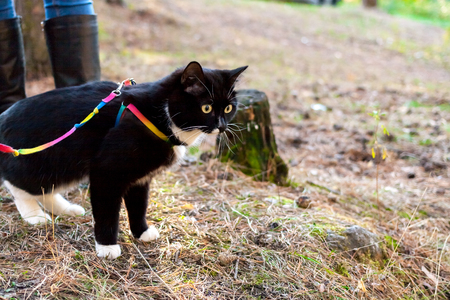 edge: Black-and-white cat is walking on harness on edge of forest in summer day.