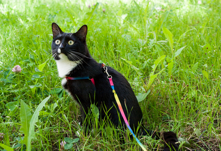 Black-and-white cat, walking on harness, is sitting on green meadow and carefully is looking upwards. Stock Photo