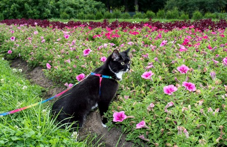 Black-and-white cat is walking on harness in urban park about flower beds in summer evening.