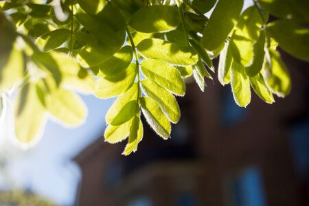 Spring blurred background with selective focus. Residential house and close-up sun-drenched green leaves of mountain ash in the foreground.