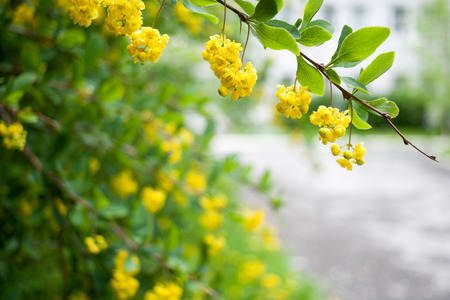 Branch with green leaves and hanging yellow flowers on blurred green-yellow bush and grey house background. Selective focus.