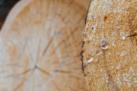Close-up part of pine saw cut with resin balls in the foreground and round saw cut on backdrop.