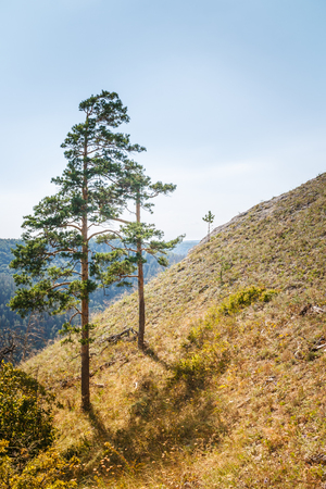 Two pine trees on mountain slope in summer day. Toned image.