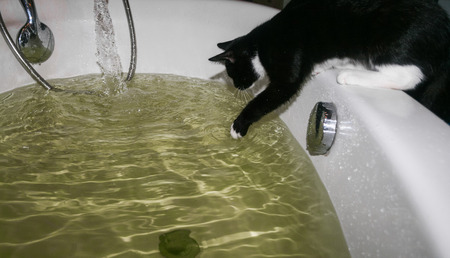 Home pet black and white cat is sitting on the bathtub and touching by a paw the water in it. Stock Photo