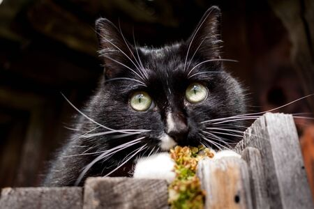 Funny black and white cat is lying on old wooden fence and carefully looking somewhere in a summer morning.