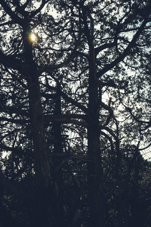 The sun barely shines through the tall, gloomy, gnarly intertwined trees. Фото со стока - 96862766