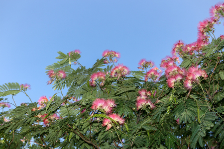 A blooming pink acacia and the blue sky with copy space.