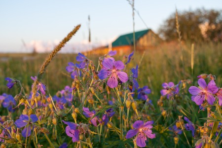 Purple flowers of meadow geranium on blurred evening rural landscape background.