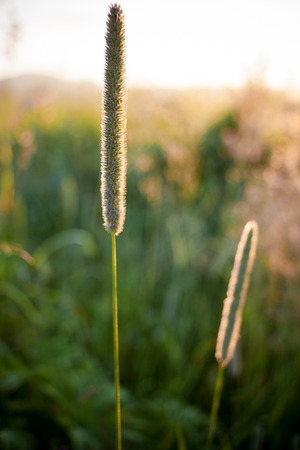 Lit by the summer sun stems of meadow grass  at dawn. 스톡 콘텐츠