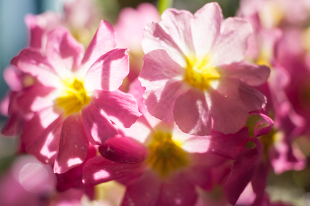 Background with soft focus of sunlit gently pink flowers.