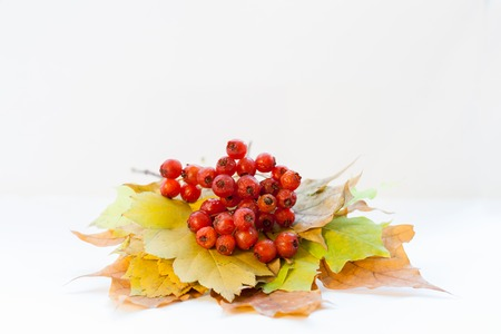 Bunch of autumn leaves and red hawthorn berries are lying on white background.