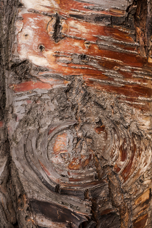 Textured uneven and nonuniform brown-red tree bark as background. 写真素材