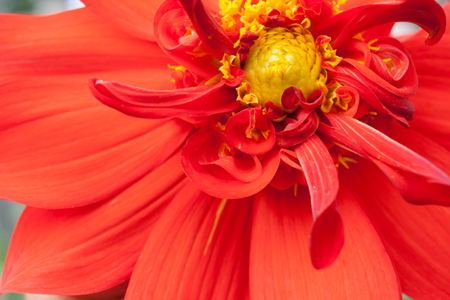 Close-up part of flower of red Dahlia with yellow middle.