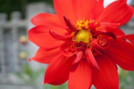 Close-up flower of red Dahlia with petals and yellow middle.