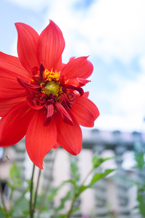 Red flower of Dahlia on blurred background of fence and sky. 版權商用圖片