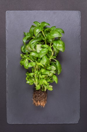 Bush of fresh green Basil with earth on gray background.