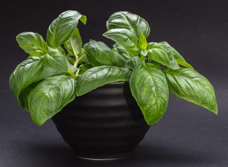 Close - up black bowl with green Basil leaves on dark gray background. 写真素材 - 120795687