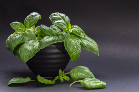 Green Basil leaves in black bowl and on table on gray background. 写真素材 - 120795688