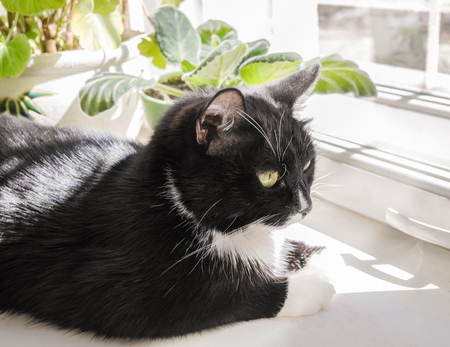 Close-up cute domestic black and white cat is lying on sunlit windowsills. Zdjęcie Seryjne