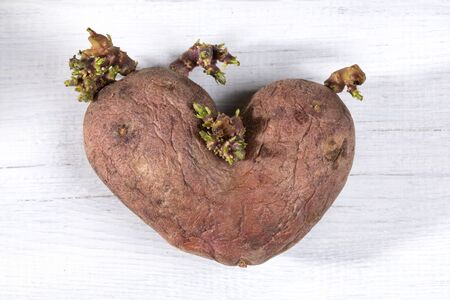 Close-up one ugly heart-shaped potato on white painted wooden table.