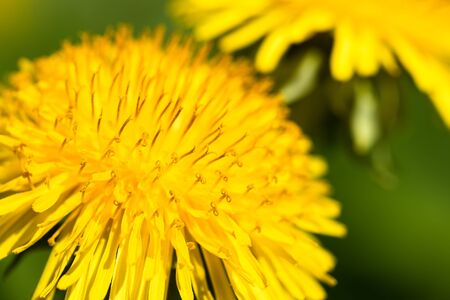 Close-up head of yellow summer dandelion with stamen.