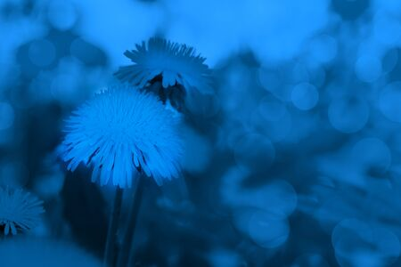Dandelions on blurred sunlit summer meadow background. Image toned in trendy 2020 color Classic Blue. Stockfoto