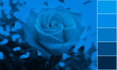 One blooming rose on blurred background toned in trendy color 2020 Classic Blue and photo color palette.