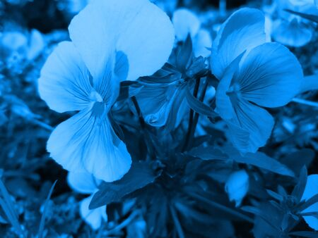 Close-up flowers violets toned in trendy color 2020 Classic Blue. Fashionable toning.  Selective focus. Stockfoto