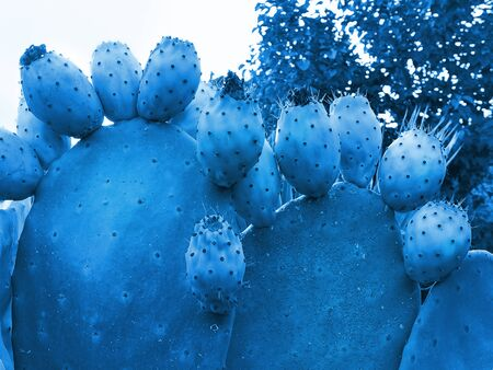 Prickly pear cactus with lots of edible ripe fruits in trendy color 2020 Classic Blue. Fashionable toning. Close-up, copy space, selective focus.
