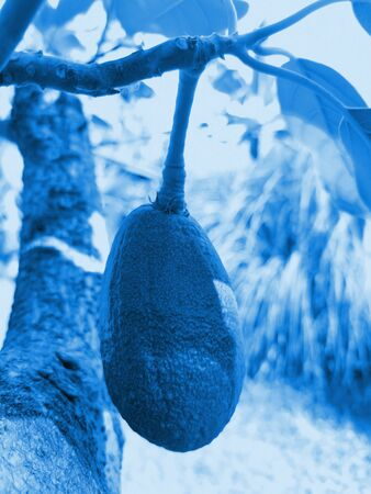 Ripe avocado fruit hanging on twig. Image toned in trendy color 2020 Classic Blue. Fashionable blue toning. Close-up, vertical orientation, selective focus.