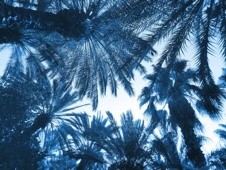 Bottom view to tops of palm trees in trendy color 2020 Classic Blue. Creative fashionable toning. Exotic toned background. Low angle, selective focus.