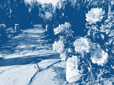 Rocky path in tropical garden with roses. Image toned in trendy color 2020 Classic Blue. Fashionable blue toning. Perspective view. Selective focus, copy space. Stockfoto