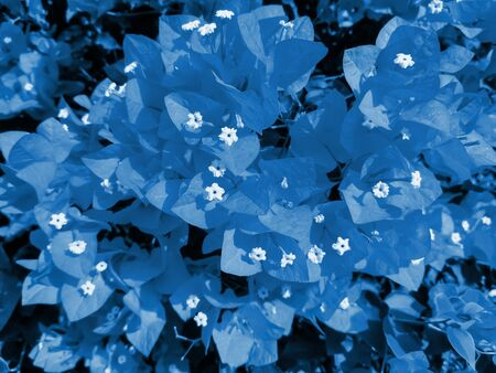 Flowering bougainvillea toned in color 2020 Classic Blue. Trendy toning. Creative toned background. Selective focus. Stockfoto