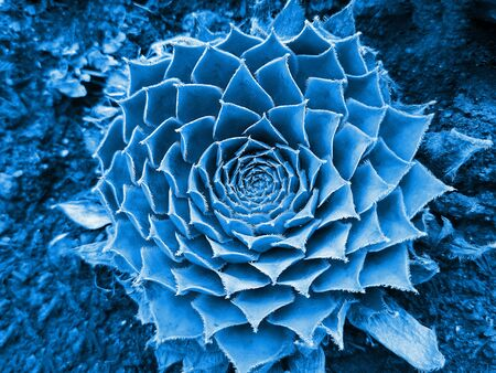 Top view of succulent flower toned in color 2020 Classic Blue. Trendy creative toning. Selective focus. Stockfoto