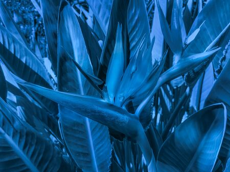 Exotic Strelitzia flower with leaves in trendy color 2020 Classic Blue. Fashionable toning. Creative toned background. Selective focus. Stockfoto