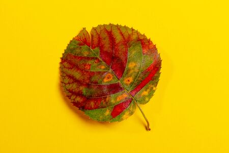 One round multicolored fall leaf on yellow backdrop. Beauty of nature. Top view, copy space.