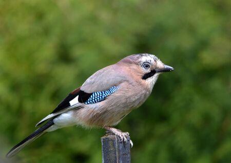 jay: Eurasian Jay Garrulus glandarius jay bird Stock Photo