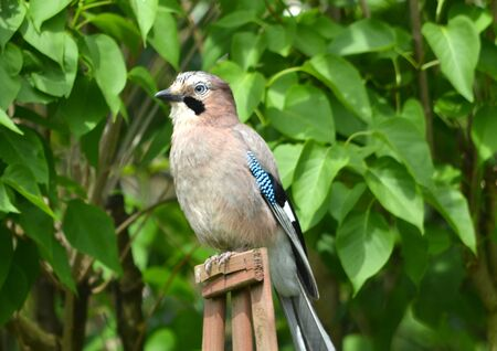 garrulus: Eurasian Jay Garrulus glandarius jay bird Stock Photo