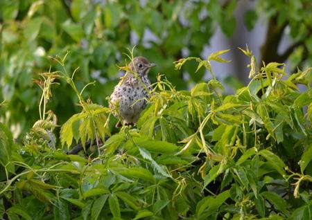 turdus: Mistle Thrush Turdus viscivorus a species of bird singing thrushes family