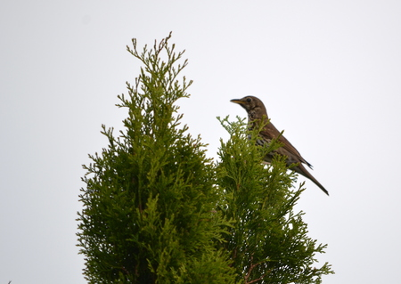 thrush: Mistle Thrush Turdus viscivorus a species of bird singing thrushes family
