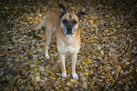 hobo: Mongrel dog walking in the autumn forest