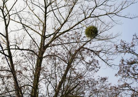 parasitic: Mistletoe - kind of parasitic plants Stock Photo