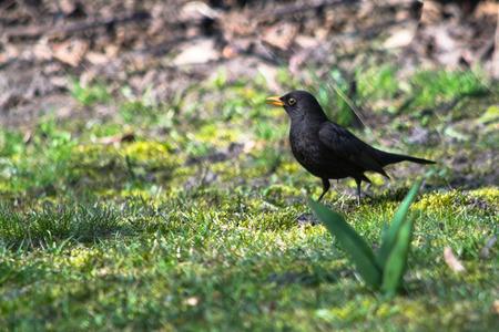 blackbird: Common blackbird, Poland