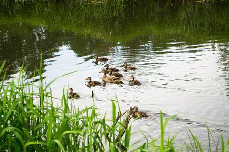 flowing river: Ducks flowing river