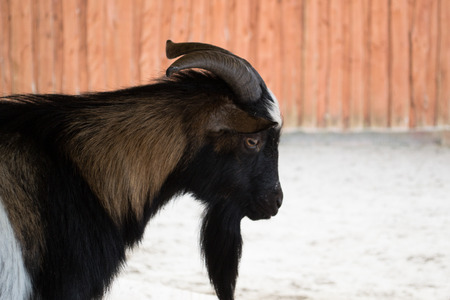 europe: Miniature goat - Europe
